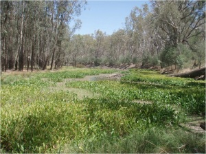 Figure 1. The invasive aquatic plant Sagittaria platyphylla (delta arrowhead; Alismataceae) dominating a wetland along the River Murray, Australia. This is a good example of a site with low alien species richness but high alien species cover. Photo: J.A. Catford