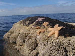 Invasive seastars, Asterias amurnesis in Victoria