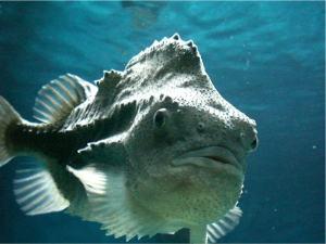 fat fish