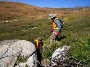 Willow management in action on the Bogong High Plains