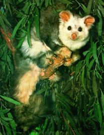 GreaterGlider2