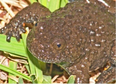 The Apennine Yellow-bellied toad Bombina pachypus (photo: A. Arillo)
