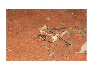 Figure 2: Many Australian frogs, such as this desert spadefoot we found on our trip, are capable of burrowing when times get tough. But cane toads lack such adaptations for an arid existence.