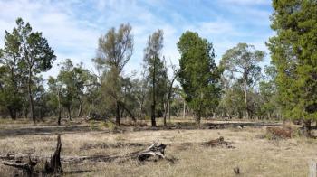 Pine-Buloke woodland