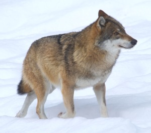 Qaecologists at ICCB were pleased to hear wolves and other large mammals on the increase in Europe. Great work conservation! Photo by Jan Nijendijk, Wikimedia commonsns