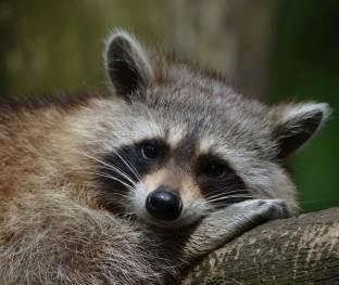 raccoon_short