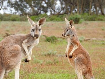 kangaroos-1563624_1920